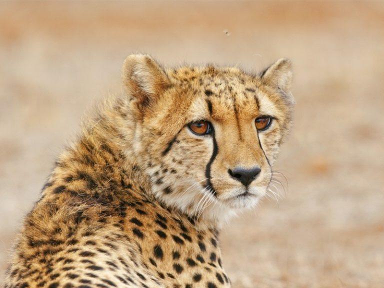 Amakhala game reserve Hlosi game lodge Cheetah3 Regular 768x576